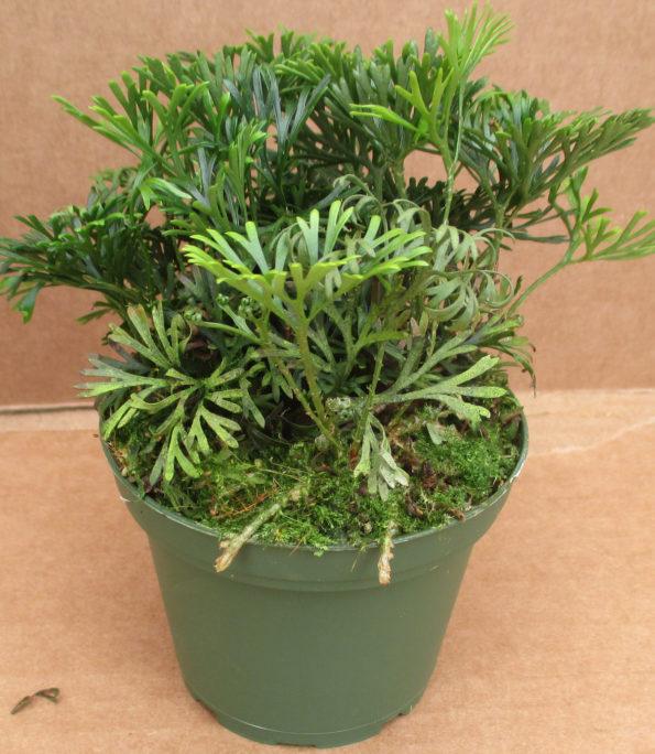 Elaphoglossum peltatum (Mexico)