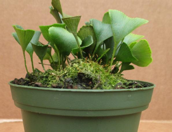 Elaphoglossum peltatum fma. standleyi (Costa Rica)