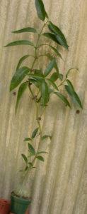 Hydnophytum simplex